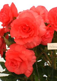 Flawless begonia flowers