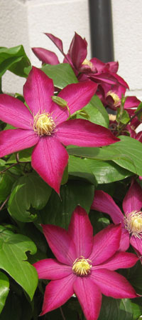 Beautiful clematis in flower