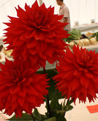 vibrant red dahlias
